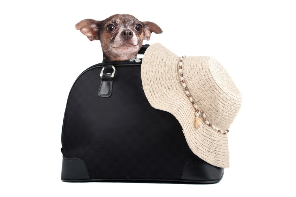 A small chihuahua dog inside suitcase with straw beach hat ready for a summer weekend getaway